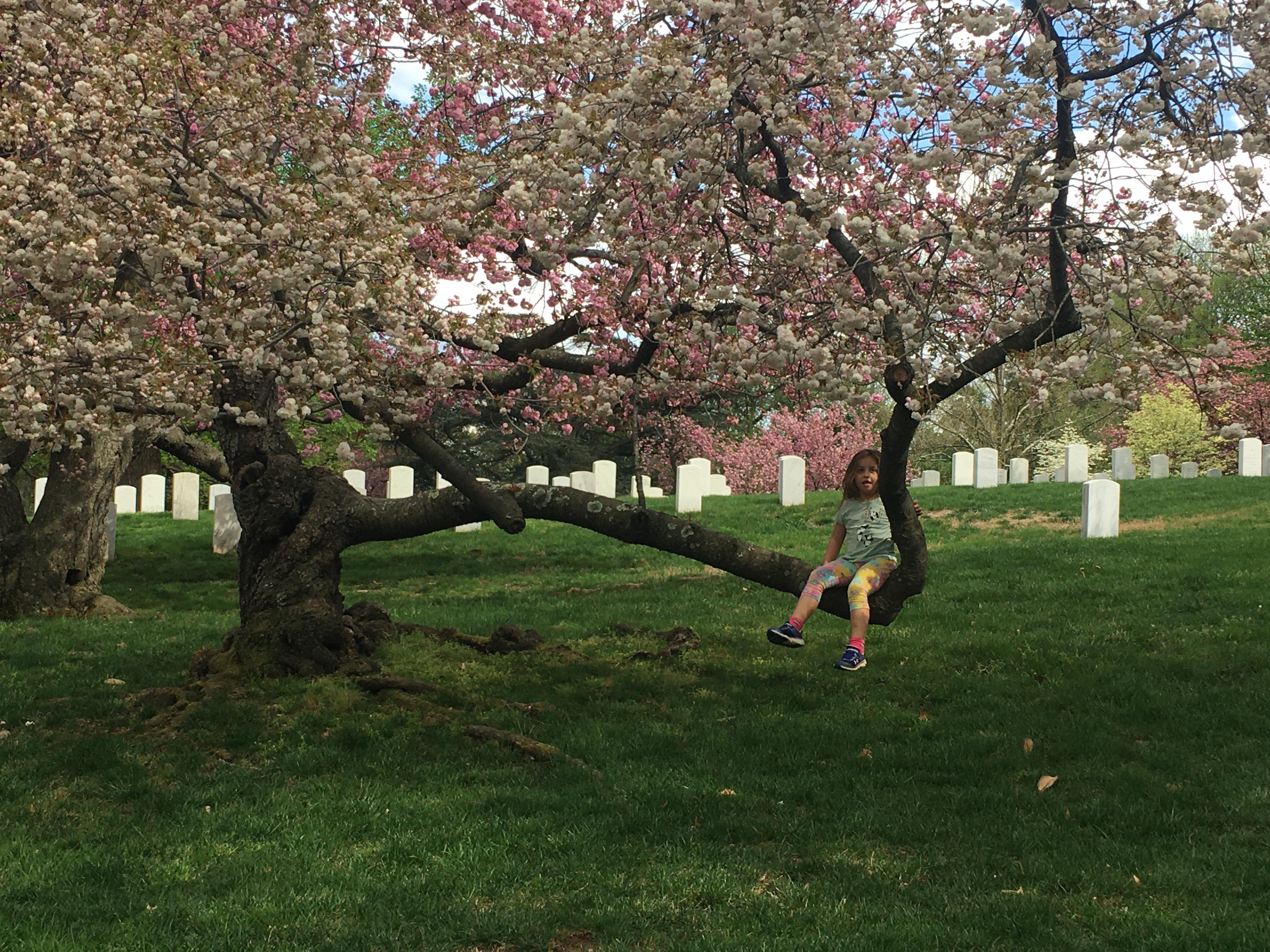 Arlington National Cemetery Chery Blossom